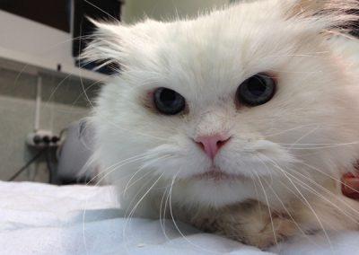consulta-gato-blanco-ojos