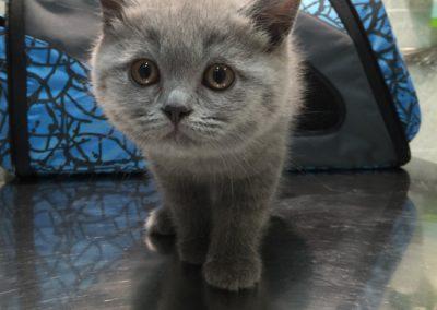 consulta-gatos-gris